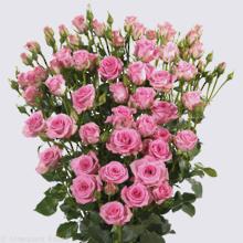 Britney Spray Rose Plant