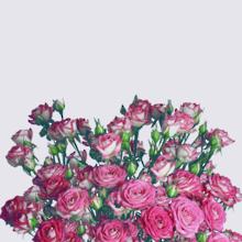 Darling Colorosa Spray Rose Plant