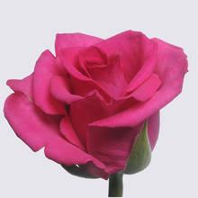 Eva Rose Plant