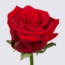 Fuego+ Rose Plant