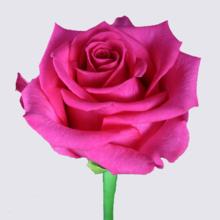 Karenza Rose Plant