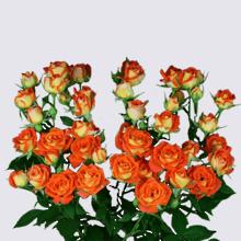 King Bubbles Spray Rose Plant