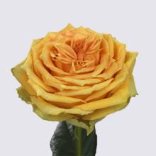 Lemon Finesse Rose Plant