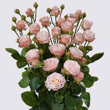 Madame Bombastic Spray Rose Plant