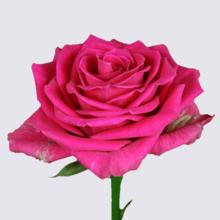 Militsa Rose Plant
