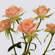 Natasha Spray Rose Plant