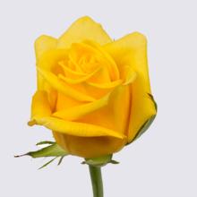 Pacaya Rose Plant