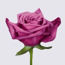 Shogun Rose Plant
