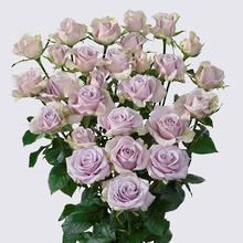 Silver Shadow Spray Rose Plant