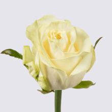 Snowfox+ Rose Plant