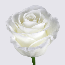 White Charming Rose Plant