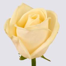 White Chocolate! Rose Plant