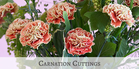 Carnation Cuttings 2