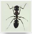 ants-