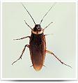 cockroach-