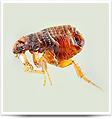 fleas-