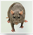 Rodent Control , Rat Control, Mouse Control, Mice Control