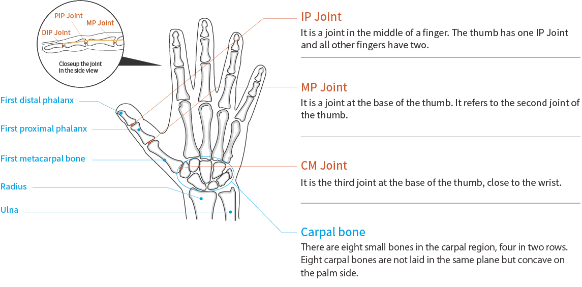 Anatomy of Thumb and Finger