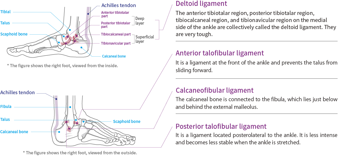Anatomy of Ankle and Achilles tendon